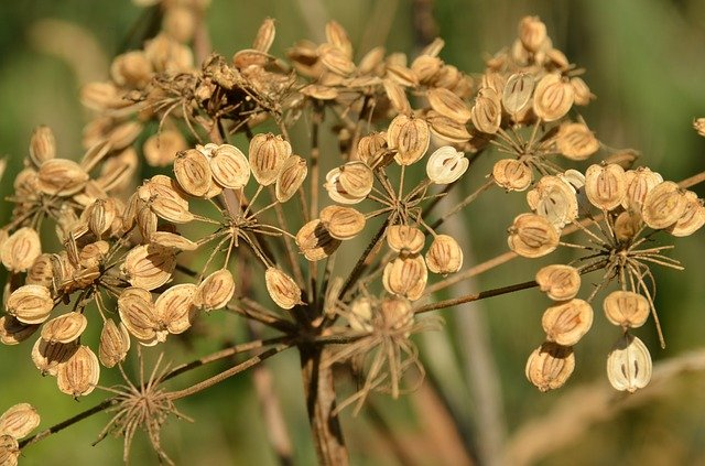 suchá rostlina