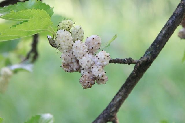 bílé plody na stromě